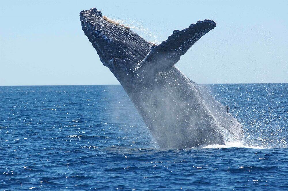 Infos pratiques - Baleine a bosse