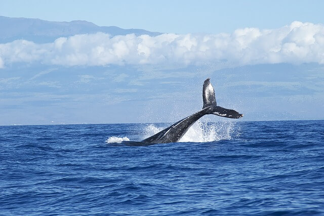 Les baleines du pacifique